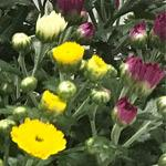 Gardenmum-trio